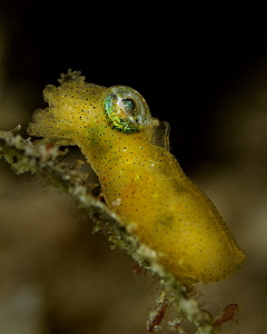 Pygmy Squid - Idiosepius pygmaeus by Henry Jager 